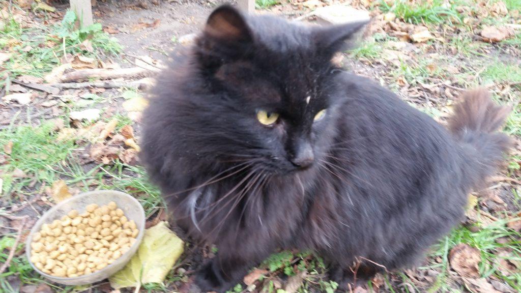 sort langhåret hunkat med rød hale og lidt hvidt på bryst