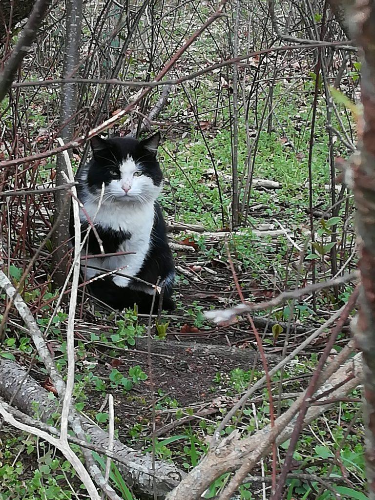 Sort hvid langhåret kat
