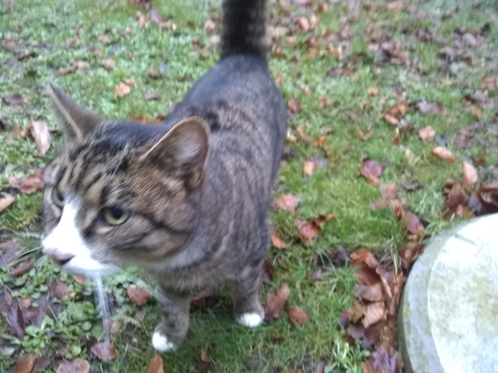 Stribet kat med hvide poter og hvidt næseparti