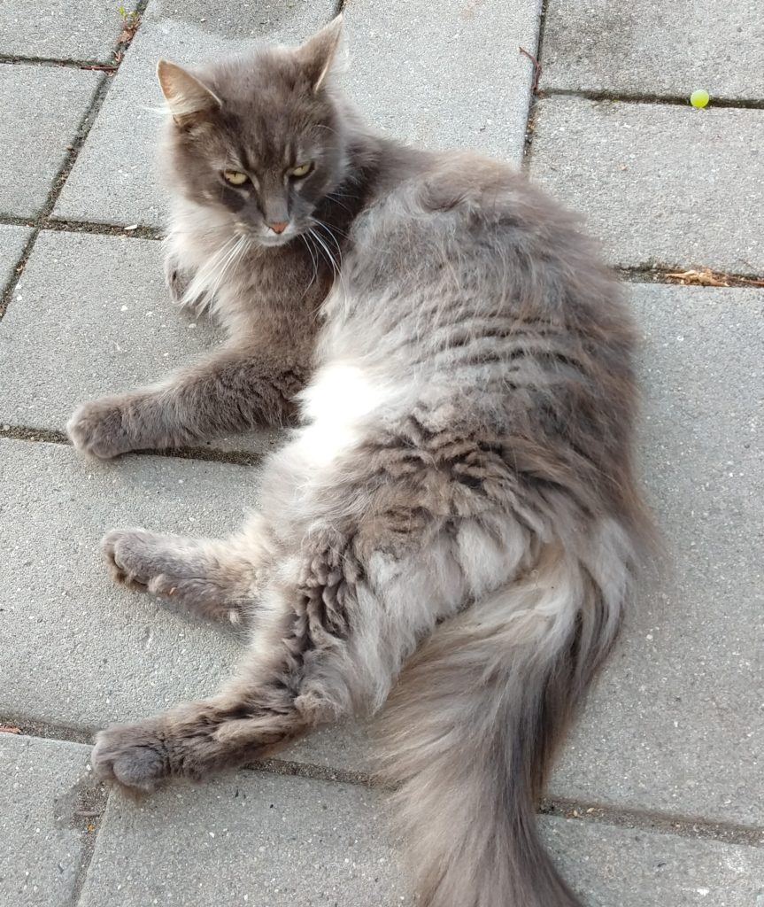 grå maine coon hankat ?,