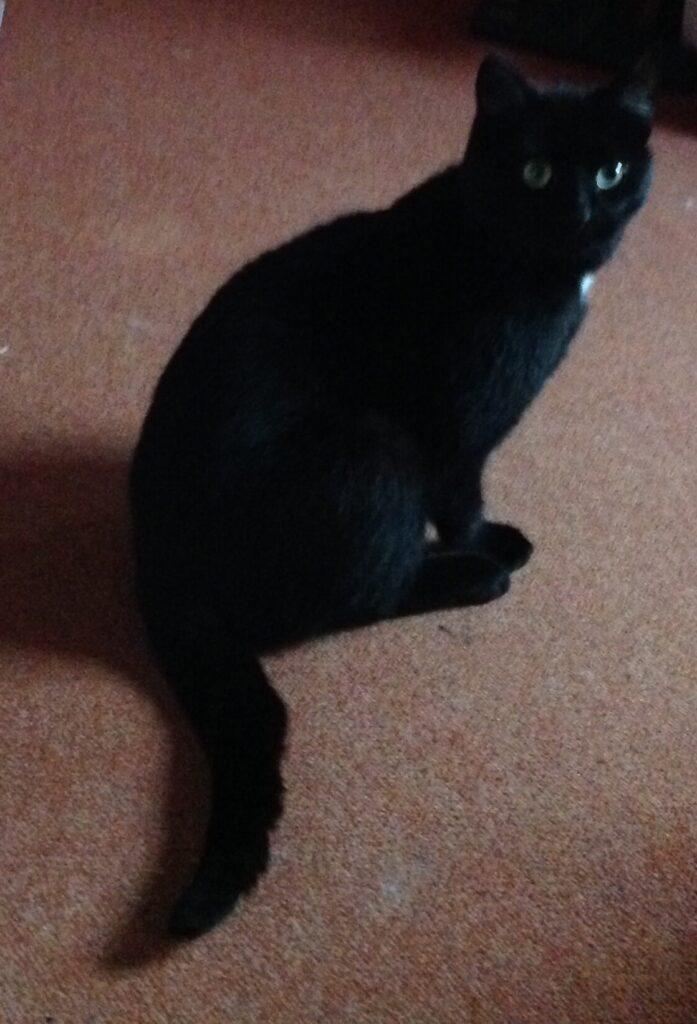 Lille sort kat.
